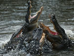 American alligators (Alligator mississip